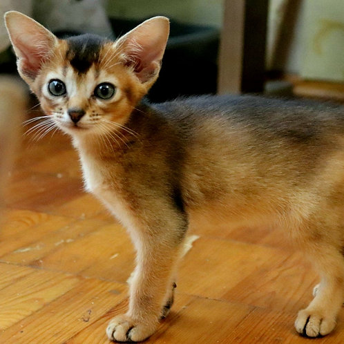 217 Nelly  purebred Abyssinian female kitten