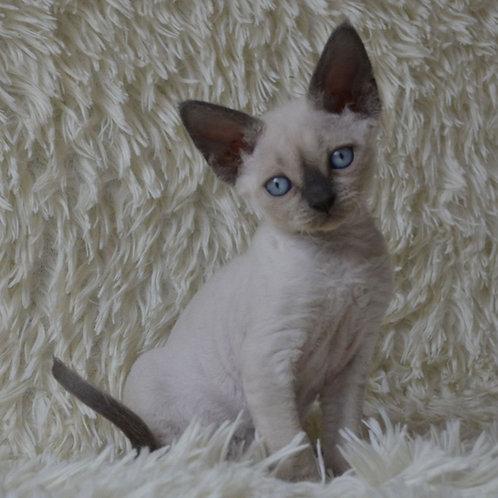 268 Wonka  female kitten Devon Rex