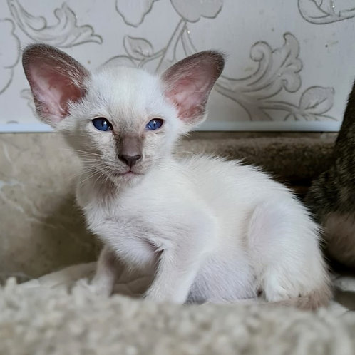 672 Qpidon  Siamo  Oriental male kitten