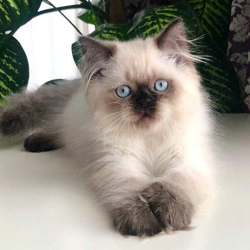 546 Unique      Scottish straight longhair male kitten