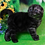 Thumbnail: 421 Harley    Scottish fold shorthair male kitten