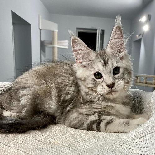 586 Beiliys  Maine Coon female kitten