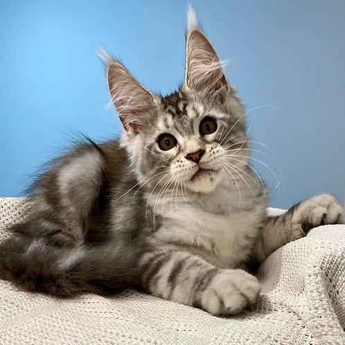591 Yudjin  Maine Coon male kitten