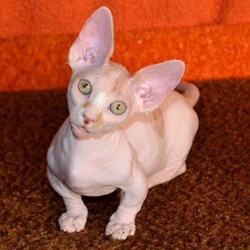 489 Kosmos male Bambino  kitten