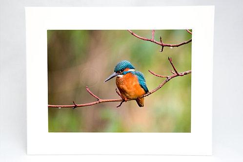 Kingfisher print Edinburgh