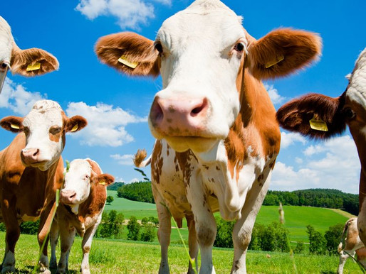 Press Release - IVF research to improve milk production