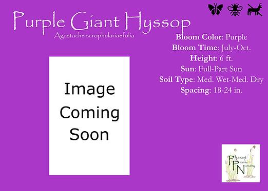 Purple Giant Hyssop
