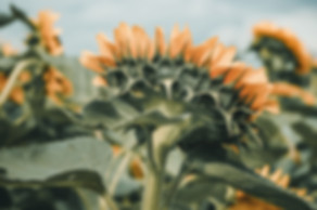 Sunnflower-9070481.jpg