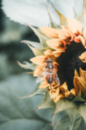 Sunnflower-9070315.jpg