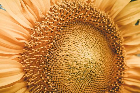 Sunnflower-9070313.jpg