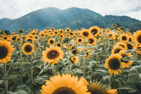 Sunnflower-8895.jpg