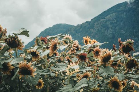 Sunnflower-9070283.jpg