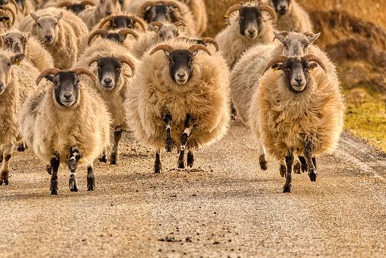running sheep.jpg