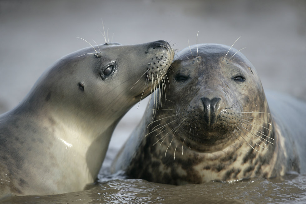 Grey seal.jpeg