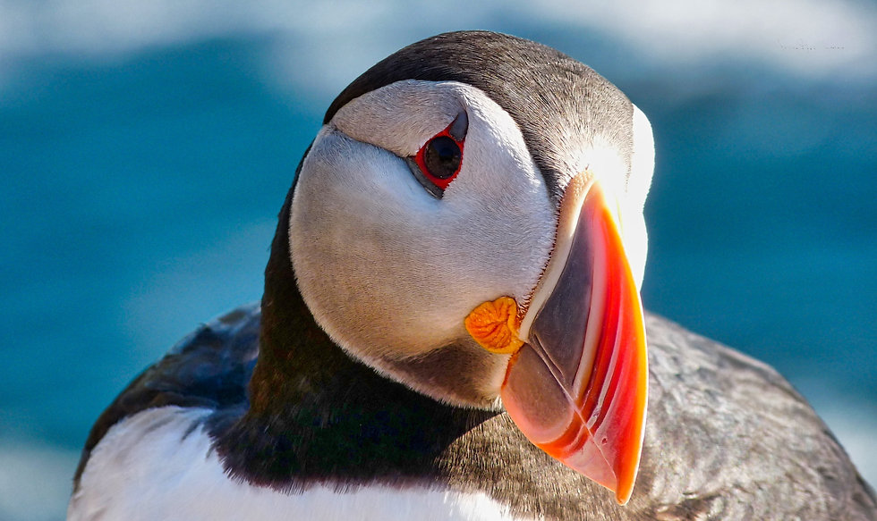 My puffin.jpeg