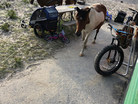 Magnificent Ponies or Trash Donkeys...Assateague Island