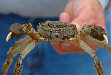 Chinese Mitten Crab 2.jpg