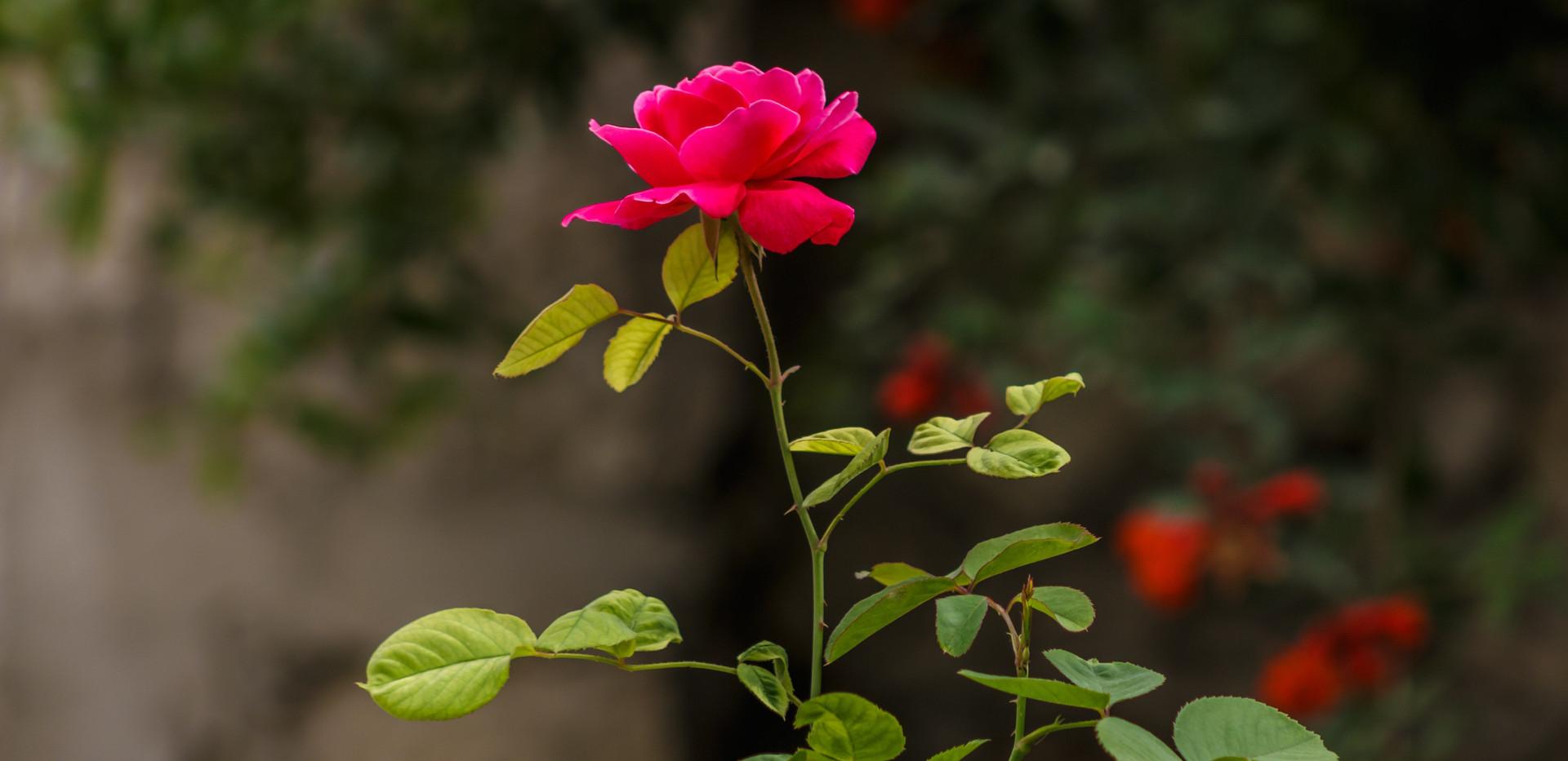 Roses love mushroom compost