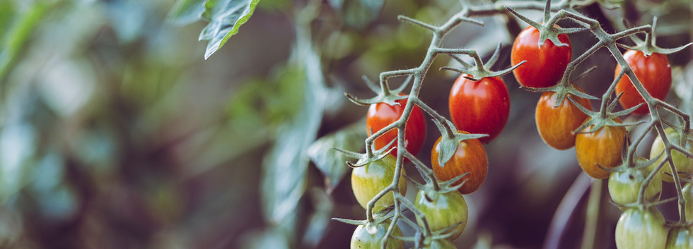 Tomatos need alot of feed compost well