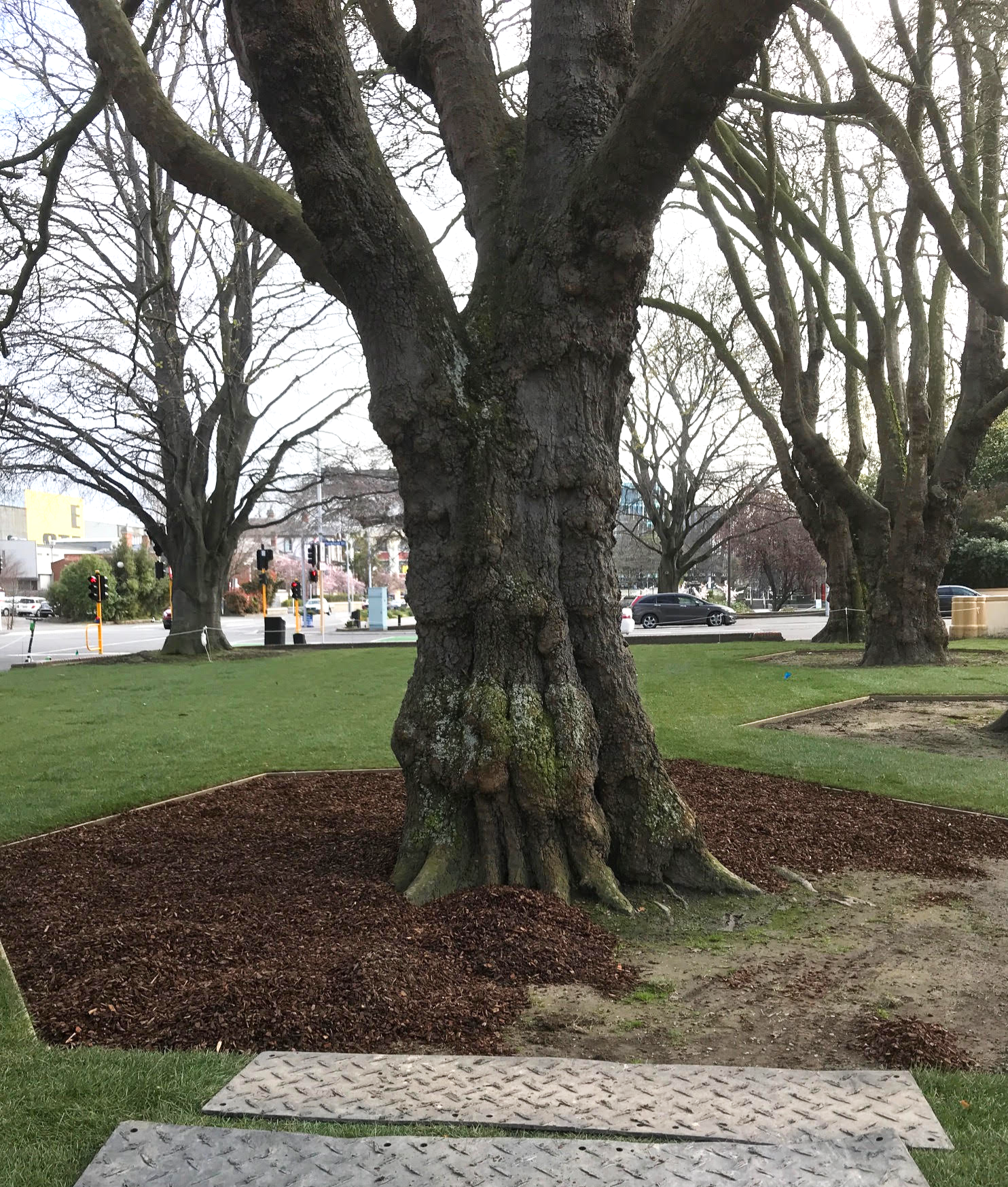 Large Trees Surrounded by Bark (CHCH)