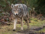 Ramapo Valley County Reservation Coyote Attack