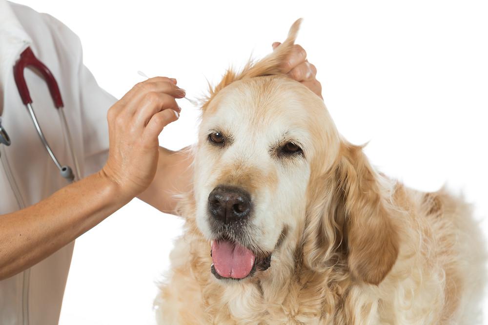 cane-prurito-allergia-malassezia