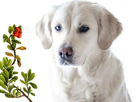 Uva Ursina: l'approccio naturale per prevenire e curare le infezioni del tratto urinario in cani