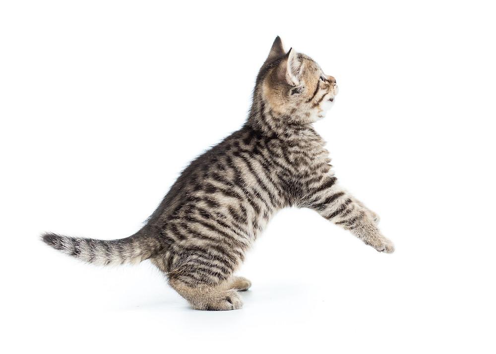 Taurina-gatto