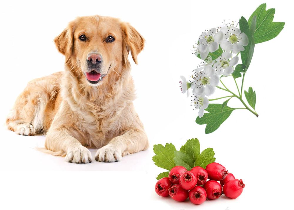 biancospino-cuore-cani