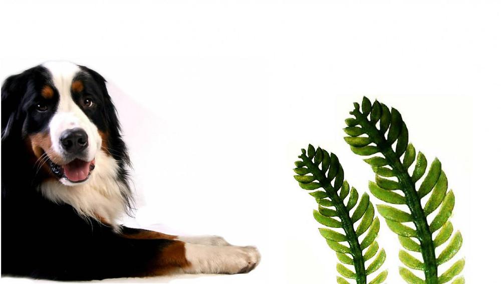 alga-clorella-cane