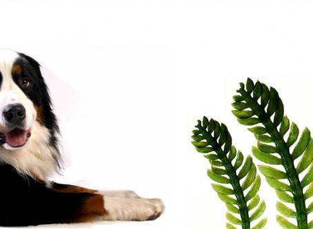 Alga Clorella (Chlorella) utile per disintossicare l'organismo dei nostri amici a quattro zampe