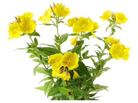 L'olio di enotera, un supporto naturale in caso di: forfora, prurito allergico e cute sensibile