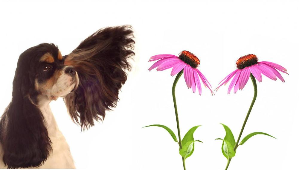echinacea-immunostimolante-cane-gatto