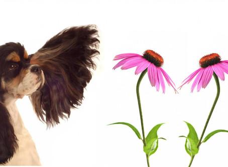Echinacea e Propoli: immunostimolanti naturali
