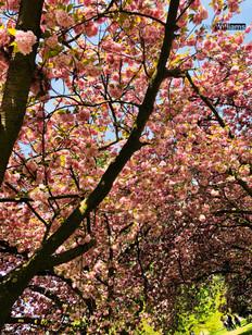 Hyde Park in Bloom
