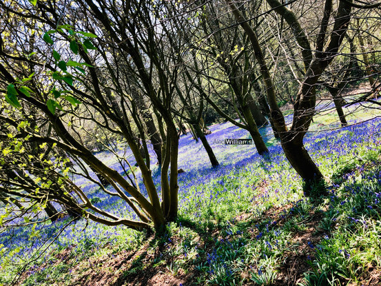 Bluebells at Ightham Mote (National Trust)
