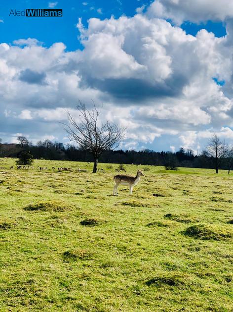 Deer at Knole Park