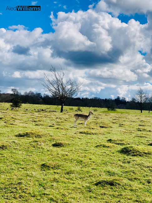 Deer at Knole Park