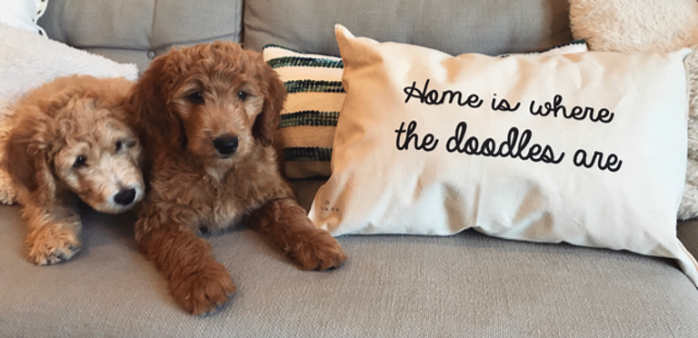 Goldendoodle puppies for sale in Jacksonville Florida