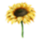 Sunflower_12.png