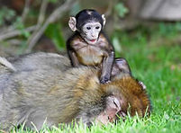 2 Affen vom Affenpark Salem