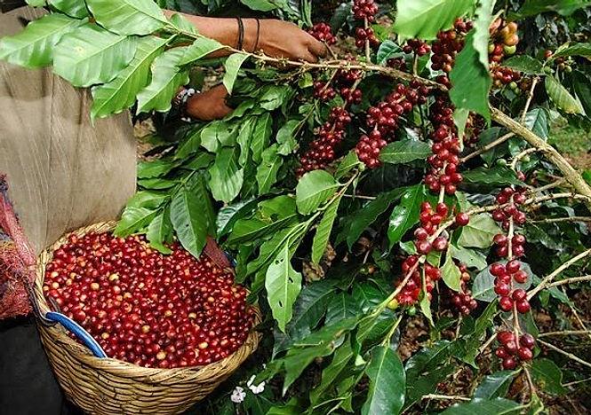 chanchamayo-productores-de-cafe-contaran