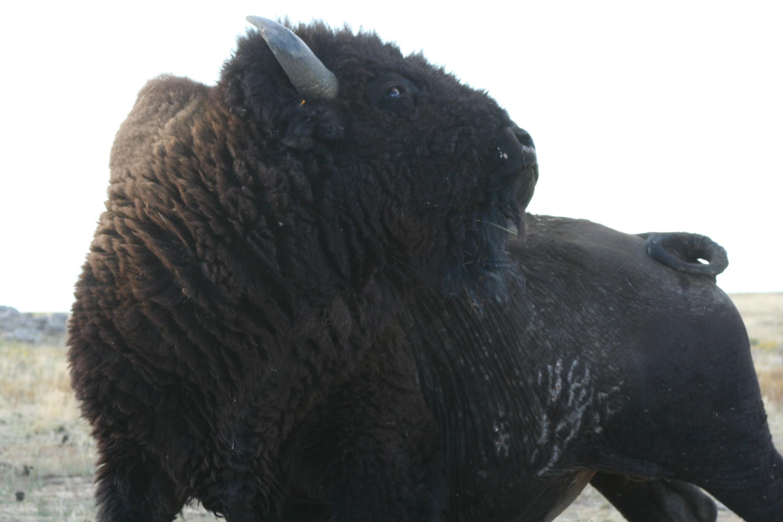 Buffalo Stretch