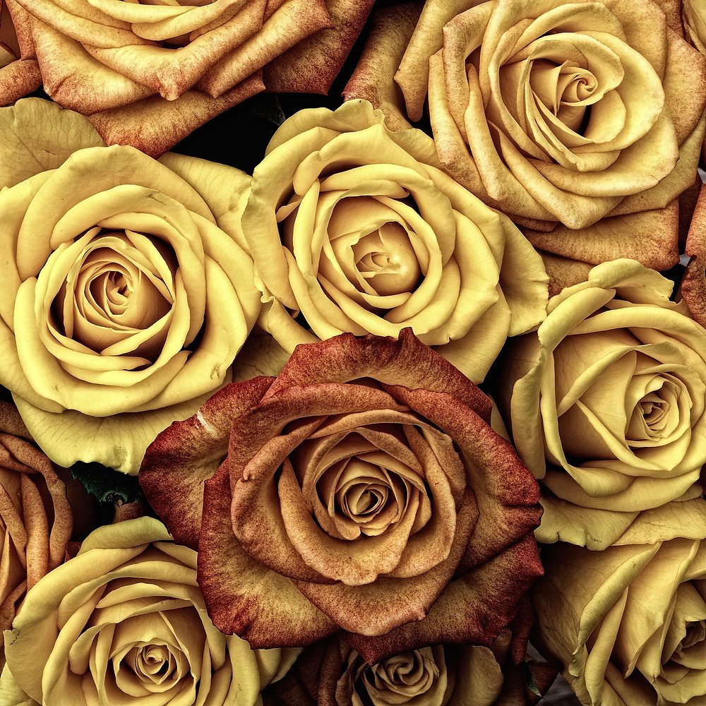 large yellowed and brown roses