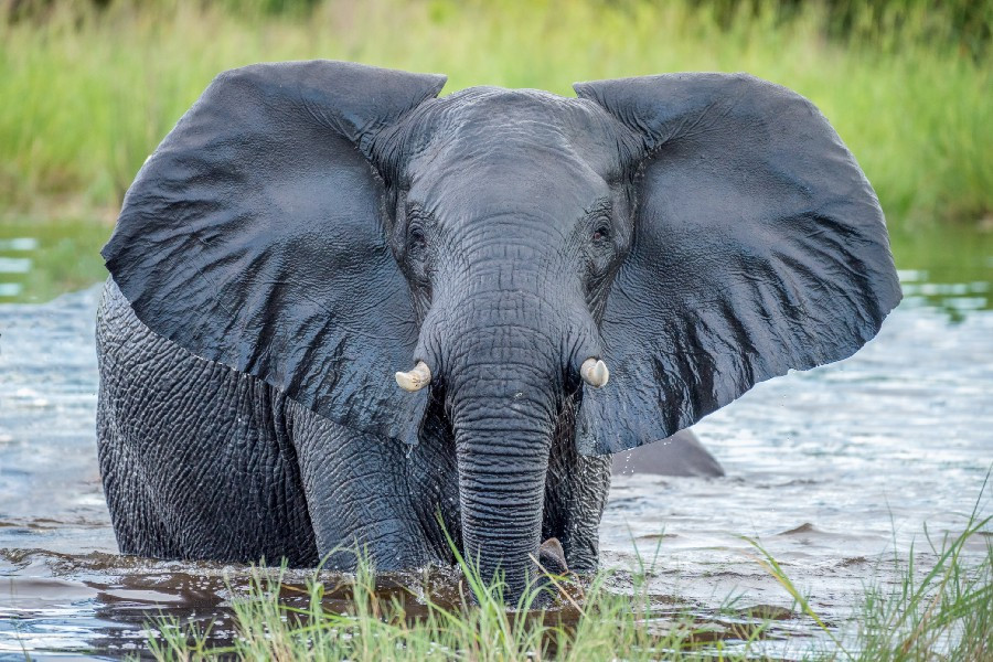 Tusked Elephant facing forward