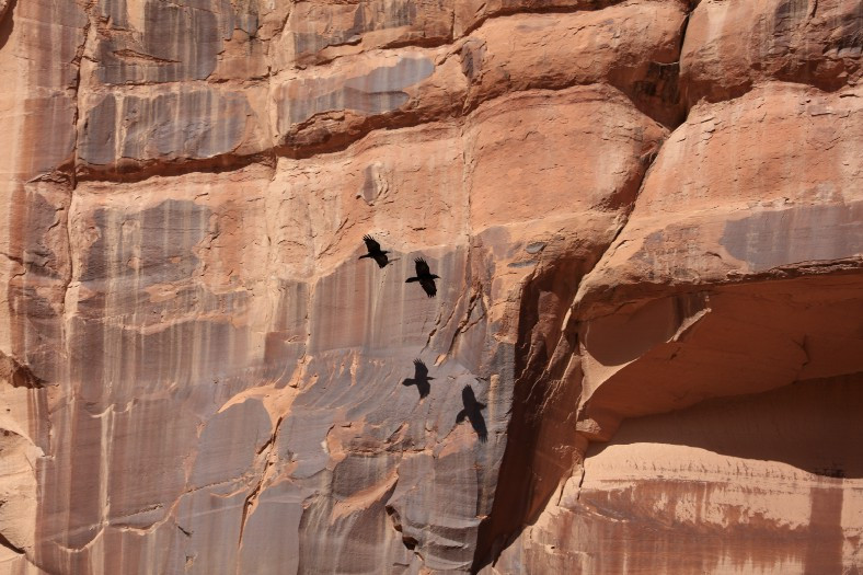 Crows flying through canyon