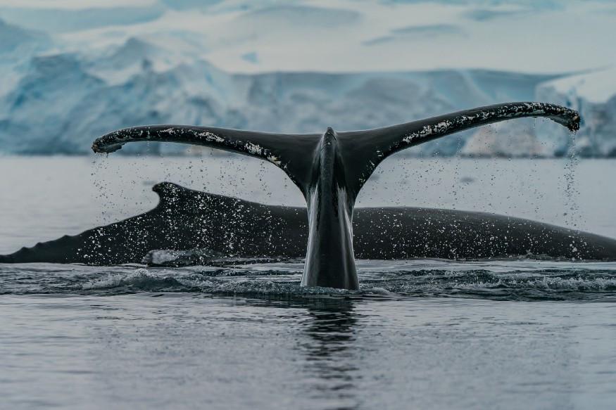 massive whale tail