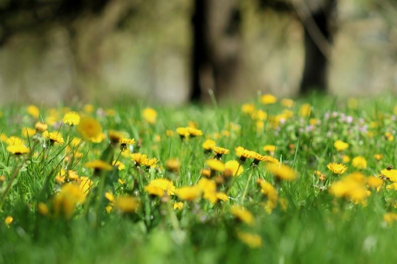 Dandelion weeds in the grass