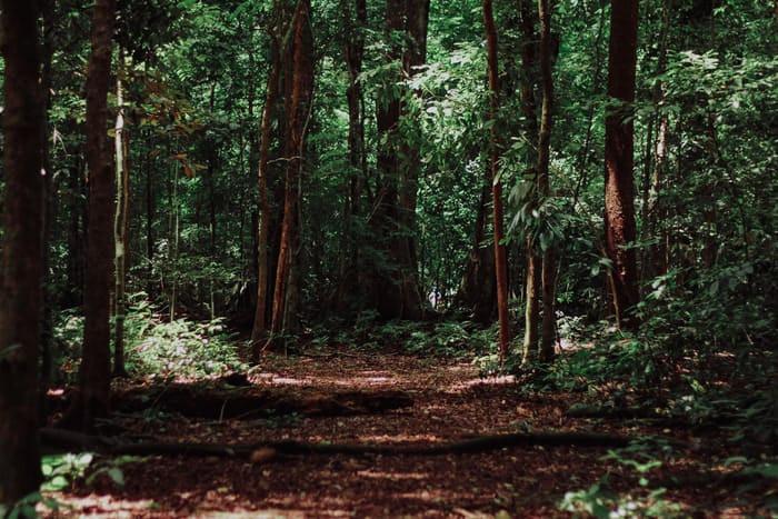 A path through a dense forest