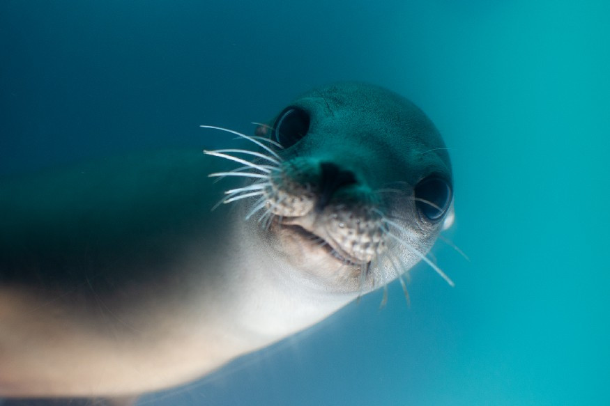 close up of a seal under water